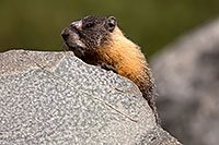 /images/133/2016-09-03-sierra-marmot-6d_1363.jpg - #13072: Yellow Bellied Marmot in Eastern Sierra, California … September 2016 -- Eastern Sierra, California