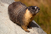 /images/133/2016-09-03-sierra-marmot-6d_1536.jpg - #13074: Yellow Bellied Marmot in Eastern Sierra, California … September 2016 -- Eastern Sierra, California