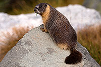 /images/133/2016-09-03-sierra-marmot-6d_1552.jpg - #13075: Yellow Bellied Marmot in Eastern Sierra, California … September 2016 -- Eastern Sierra, California