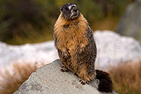 /images/133/2016-09-03-sierra-marmot-6d_1555.jpg - #13076: Yellow Bellied Marmot in Eastern Sierra, California … September 2016 -- Eastern Sierra, California