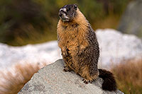 /images/133/2016-09-03-sierra-marmot-6d_1559.jpg - #13077: Yellow Bellied Marmot in Eastern Sierra, California … September 2016 -- Eastern Sierra, California