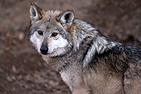 /images/133/2016-12-29-tuc-museum-wolf-1x2_1158.jpg - #13273: Female Mexican Wolf in Tucson … December 2016 -- Arizona-Sonora Desert Museum, Tucson, Arizona