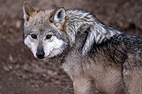 /images/133/2016-12-29-tuc-museum-wolf-1x2_1165.jpg - #13274: Female Mexican Wolf in Tucson … December 2016 -- Arizona-Sonora Desert Museum, Tucson, Arizona