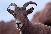 /images/133/2016-12-30-tuc-museum-bighorn-1x2_1843.jpg - #13297: Female bighorn sheep in Tucson … December 2016 -- Arizona-Sonora Desert Museum, Tucson, Arizona