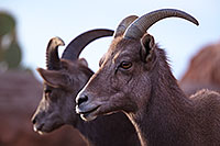 /images/133/2016-12-30-tuc-museum-bighorn-1x2_1862.jpg - #13298: Female bighorn sheep in Tucson … December 2016 -- Arizona-Sonora Desert Museum, Tucson, Arizona