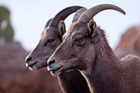 /images/133/2016-12-30-tuc-museum-bighorn-1x2_1876.jpg - #13299: Female bighorn sheep in Tucson … December 2016 -- Arizona-Sonora Desert Museum, Tucson, Arizona
