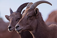 /images/133/2016-12-30-tuc-museum-bighorn-1x2_1883.jpg - #13300: Female bighorn sheep in Tucson … December 2016 -- Arizona-Sonora Desert Museum, Tucson, Arizona