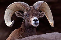 /images/133/2016-12-30-tuc-museum-bighorn-1x2_1902.jpg - #13304: Bighorn sheep in Tucson … December 2016 -- Arizona-Sonora Desert Museum, Tucson, Arizona