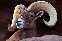 /images/133/2016-12-30-tuc-museum-bighorn-1x2_1905.jpg - #13305: Bighorn sheep in Tucson … December 2016 -- Arizona-Sonora Desert Museum, Tucson, Arizona