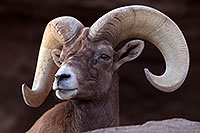 /images/133/2016-12-30-tuc-museum-bighorn-1x2_1912.jpg - #13306: Bighorn sheep in Tucson … December 2016 -- Arizona-Sonora Desert Museum, Tucson, Arizona