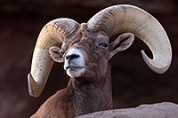 /images/133/2016-12-30-tuc-museum-bighorn-1x2_1917.jpg - #13307: Bighorn sheep in Tucson … December 2016 -- Arizona-Sonora Desert Museum, Tucson, Arizona