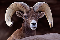/images/133/2016-12-30-tuc-museum-bighorn-1x2_1920.jpg - #13308: Bighorn sheep in Tucson … December 2016 -- Arizona-Sonora Desert Museum, Tucson, Arizona