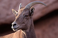 /images/133/2016-12-30-tuc-museum-bighorn-1x2_1931.jpg - #13310: Bighorn sheep in Tucson … December 2016 -- Arizona-Sonora Desert Museum, Tucson, Arizona