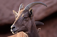 /images/133/2016-12-30-tuc-museum-bighorn-1x2_1935.jpg - #13311: Bighorn sheep in Tucson … December 2016 -- Arizona-Sonora Desert Museum, Tucson, Arizona