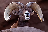 /images/133/2016-12-30-tuc-museum-bighorn-1x2_2080.jpg - #13312: Bighorn sheep in Tucson … December 2016 -- Arizona-Sonora Desert Museum, Tucson, Arizona