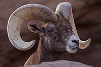 /images/133/2016-12-30-tuc-museum-bighorn-1x2_2093.jpg - #13313: Bighorn sheep in Tucson … December 2016 -- Arizona-Sonora Desert Museum, Tucson, Arizona