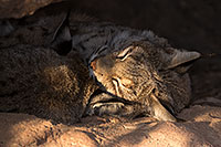 /images/133/2016-12-30-tuc-museum-bobcat-1x2_2184.jpg - #13314: Bobcats sleeping in Tucson … December 2016 -- Arizona-Sonora Desert Museum, Tucson, Arizona