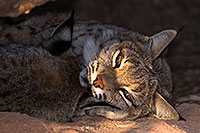 /images/133/2016-12-30-tuc-museum-bobcat-1x2_2221.jpg - #13316: Bobcats sleeping in Tucson … December 2016 -- Arizona-Sonora Desert Museum, Tucson, Arizona