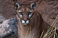 /images/133/2016-12-30-tuc-museum-puma-1x2_2352.jpg - #13323: Mountain Lion in Tucson … December 2016 -- Arizona-Sonora Desert Museum, Tucson, Arizona