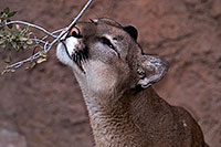 /images/133/2016-12-30-tuc-museum-puma-1x2_2368.jpg - #13324: Mountain Lion in Tucson … December 2016 -- Arizona-Sonora Desert Museum, Tucson, Arizona