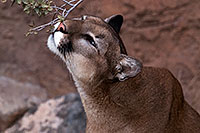 /images/133/2016-12-30-tuc-museum-puma-1x2_2371.jpg - #13325: Mountain Lion in Tucson … December 2016 -- Arizona-Sonora Desert Museum, Tucson, Arizona