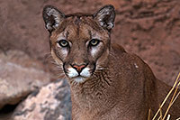 /images/133/2016-12-30-tuc-museum-puma-1x2_2413.jpg - #13326: Mountain Lion in Tucson … December 2016 -- Arizona-Sonora Desert Museum, Tucson, Arizona