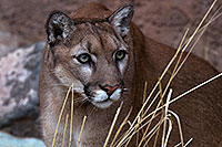 /images/133/2016-12-30-tuc-museum-puma-1x2_2427.jpg - #13328: Mountain Lion in Tucson … December 2016 -- Arizona-Sonora Desert Museum, Tucson, Arizona