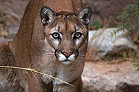 /images/133/2016-12-30-tuc-museum-puma-1x2_2435.jpg - #13329: Mountain Lion in Tucson … December 2016 -- Arizona-Sonora Desert Museum, Tucson, Arizona