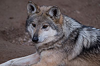 /images/133/2016-12-30-tuc-museum-wolf-1x2_2509.jpg - #13334: Female Mexican Wolf in Tucson … December 2016 -- Arizona-Sonora Desert Museum, Tucson, Arizona