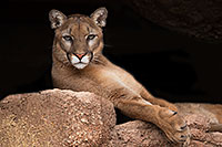 /images/133/2017-01-03-desert-puma-1x2_2576.jpg - #13335: Mountain Lion at Arizona Sonora Desert Museum … January 2017 -- Arizona-Sonora Desert Museum, Tucson, Arizona