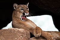 /images/133/2017-01-03-desert-puma-1x2_2615.jpg - #13338: Mountain Lion at Arizona Sonora Desert Museum … January 2017 -- Arizona-Sonora Desert Museum, Tucson, Arizona