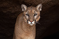 /images/133/2017-01-03-desert-puma-1x2_2653.jpg - #13339: Mountain Lion at Arizona Sonora Desert Museum … January 2017 -- Arizona-Sonora Desert Museum, Tucson, Arizona