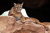 /images/133/2017-01-03-desert-puma-1x2_2681.jpg - #13341: Mountain Lion at Arizona Sonora Desert Museum … January 2017 -- Arizona-Sonora Desert Museum, Tucson, Arizona