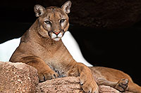 /images/133/2017-01-03-desert-puma-1x2_2693.jpg - #13343: Mountain Lion at Arizona Sonora Desert Museum … January 2017 -- Arizona-Sonora Desert Museum, Tucson, Arizona