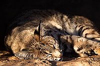 /images/133/2017-01-04-musem-bobcat-1x2_3108.jpg - #13345: Bobcat in Tucson … January 2017 -- Arizona-Sonora Desert Museum, Tucson, Arizona