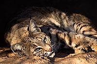 /images/133/2017-01-04-musem-bobcat-1x2_3114.jpg - #13346: Bobcat in Tucson … January 2017 -- Arizona-Sonora Desert Museum, Tucson, Arizona