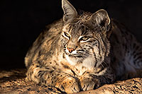 /images/133/2017-01-04-musem-bobcat-1x2_3151.jpg - #13347: Bobcat in Tucson … January 2017 -- Arizona-Sonora Desert Museum, Tucson, Arizona