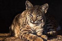 /images/133/2017-01-04-musem-bobcat-70-1x2_3178.jpg - #13349: Bobcat in Tucson … January 2017 -- Arizona-Sonora Desert Museum, Tucson, Arizona