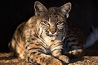 /images/133/2017-01-04-musem-bobcat-70-1x2_3188.jpg - #13350: Bobcat in Tucson … January 2017 -- Arizona-Sonora Desert Museum, Tucson, Arizona