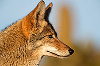 /images/133/2017-01-04-museum-coyotes-1x2_3225.jpg - #13351: Coyote in Tucson … January 2017 -- Arizona-Sonora Desert Museum, Tucson, Arizona