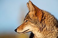 /images/133/2017-01-04-museum-coyotes-1x2_3228.jpg - #13352: Coyote in Tucson … January 2017 -- Arizona-Sonora Desert Museum, Tucson, Arizona