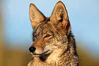 /images/133/2017-01-04-museum-coyotes-1x2_3249.jpg - #13357: Coyote in Tucson … January 2017 -- Arizona-Sonora Desert Museum, Tucson, Arizona
