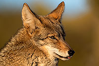 /images/133/2017-01-04-museum-coyotes-1x2_3256.jpg - #13359: Coyote in Tucson … January 2017 -- Arizona-Sonora Desert Museum, Tucson, Arizona