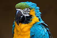 /images/133/2017-01-05-tuc-zoo-gold-macaw-1x2_3315.jpg - #13368: Blue-and-Gold Macaw in Tucson … January 2017 -- Reid Park Zoo, Tucson, Arizona