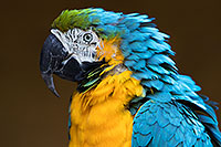 /images/133/2017-01-05-tuc-zoo-gold-macaw-1x2_3316.jpg - #13363: Blue-and-Gold Macaw in Tucson … January 2017 -- Reid Park Zoo, Tucson, Arizona