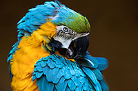 /images/133/2017-01-05-tuc-zoo-gold-macaw-1x2_3329.jpg - #13370: Blue-and-Gold Macaw in Tucson … January 2017 -- Reid Park Zoo, Tucson, Arizona