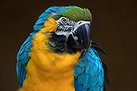 /images/133/2017-01-05-tuc-zoo-gold-macaw-1x2_3378.jpg - #13372: Blue-and-Gold Macaw in Tucson … January 2017 -- Reid Park Zoo, Tucson, Arizona