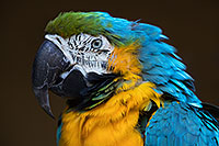 /images/133/2017-01-05-tuc-zoo-gold-macaw-1x2_3409.jpg - #13374: Blue-and-Gold Macaw in Tucson … January 2017 -- Reid Park Zoo, Tucson, Arizona
