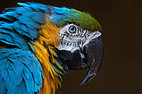 /images/133/2017-01-05-tuc-zoo-gold-macaw-1x2_3547.jpg - #13375: Blue-and-Gold Macaw in Tucson … January 2017 -- Reid Park Zoo, Tucson, Arizona