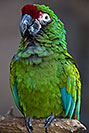 /images/133/2017-01-06-reid-mil-macaw-1x2_4570v.jpg - #13382: Military Macaw at Reid Zoo … January 2017 -- Reid Park Zoo, Tucson, Arizona